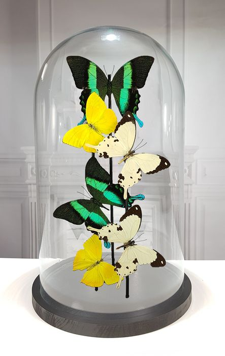 Mixed Butterflies  under large glass dome  - Various species - 40×23×23 cm