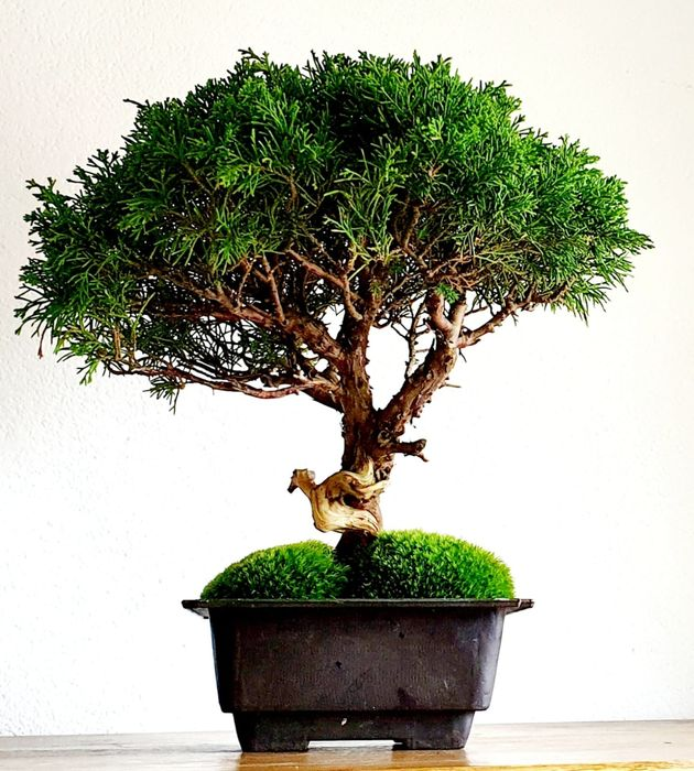 Jeneverbes bonsai (Juniperus) - 30×40 cm - Nederland