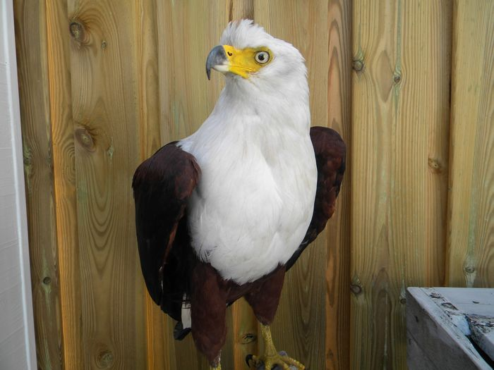 African Fish Eagle - uncommon - Haliaeetus vocifer (with full Article 10, Commercial Use) - 60×30×40 cm