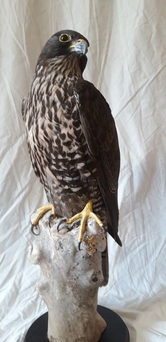 Saker Falcon - nice example - Falco cherrug - with full CITES Article 10 (Commercial Use) - 555×200×200 mm