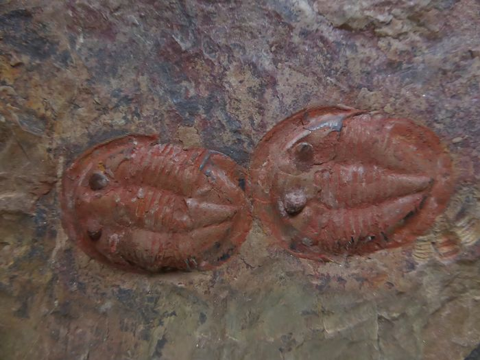 Rarity Very nice pair of trilobites - On matrix - Colpocoryphe thorali conjugens - 15×110×130 mm
