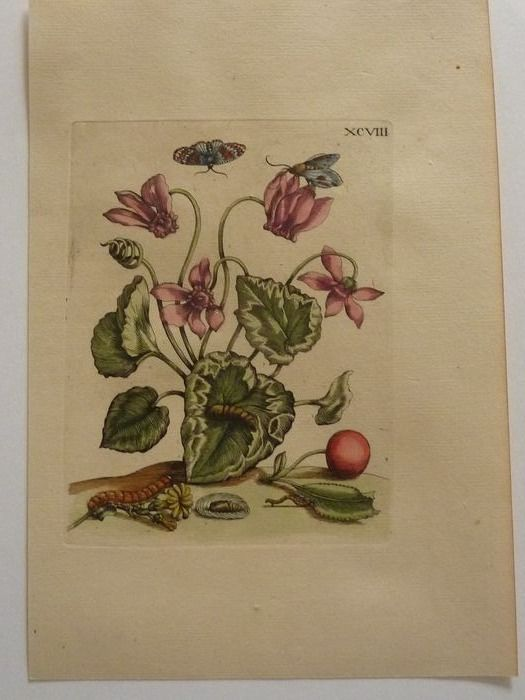 Maria Sibylla Merian - 7 hand-coloured plates from: Histoire des insectes de l'Europe. - 1730