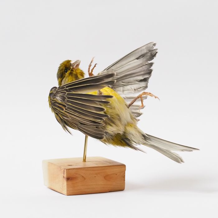 Domestic Canary - mounted as dead - on pedestal - - Serinus canaria domestica - 12×10×13 cm