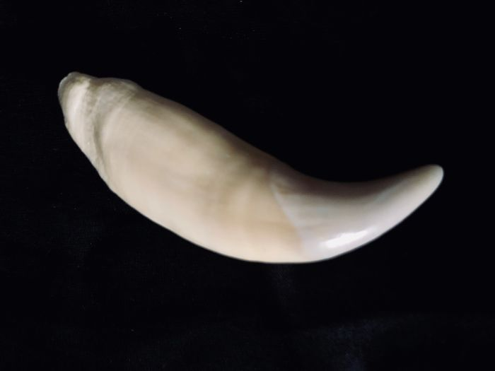 North American Black Bear Tooth - Ursus americanus - 9×18×60 mm