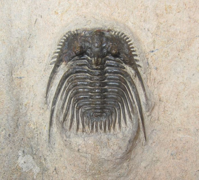 Fine Spiny Trilobites with a tip on the head - On matrix - Kettneraspis - 30×25×0 mm