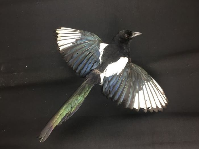 Eurasian Magpie - in flight - wall-mounted - - Pica pica - 47×43×13 cm