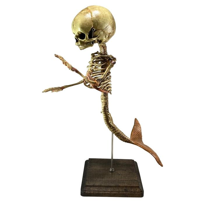 Foetal Fiji Mermaid Skeleton on custom stand - 35×0×0 cm