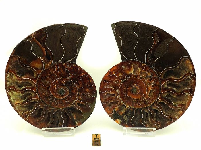 Ammonite - cut in half - cleoniceras besairiei