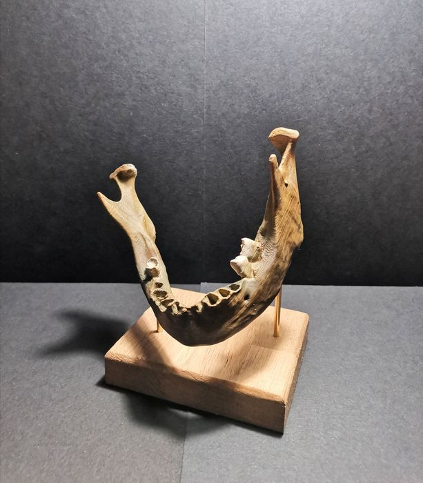 Neanderthal Man Lower Mandible on custom stand - replica - - - 11×13×8 cm