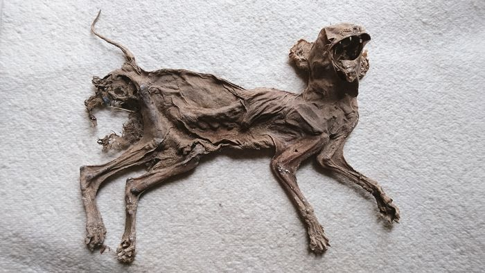 Vintage Mummified Cat - 1940s - Germany - Felis catus - 4.5×24×29 cm