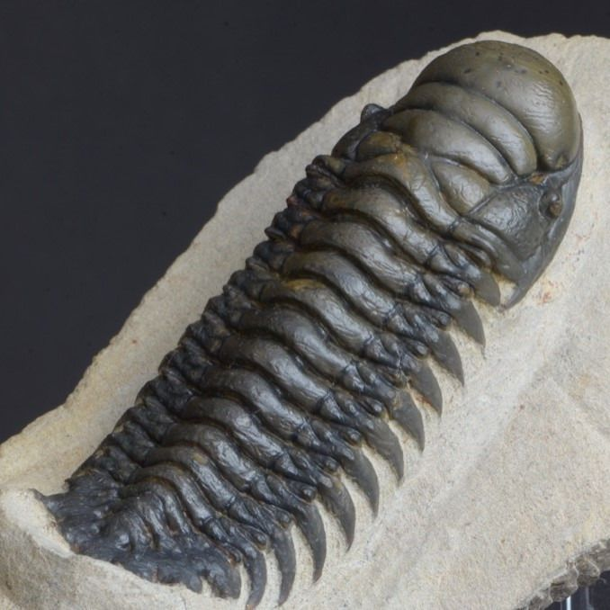 Beautiful Trilobite - On matrix - Crotalocephalus gibbus - 123×76×38 mm