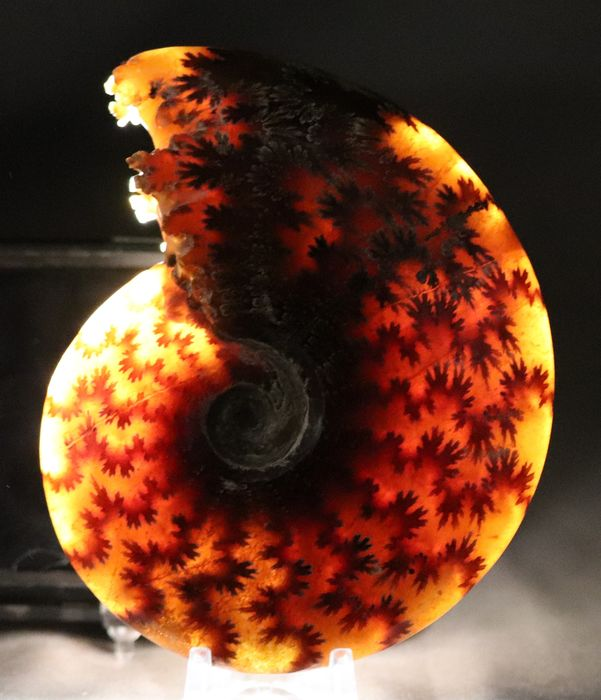 Breathtaking translucent Ammonite - Top conservation - Two sides - Sutur lines and preparation of the septas - Aioloceras besairie ( 11.8 cm )