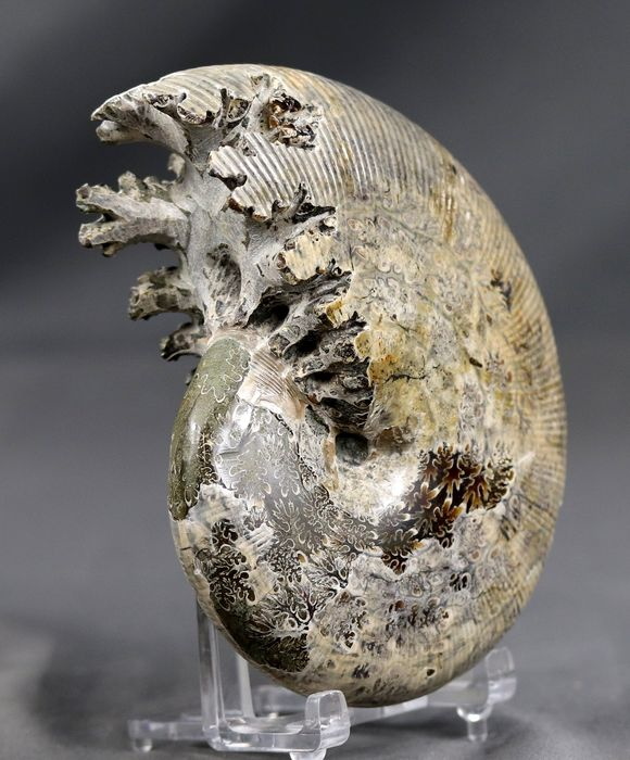 Awesome ammonites with shell . Top conservation - Two sides - Septas - Phylloceras velledae ( 11.7 cm )