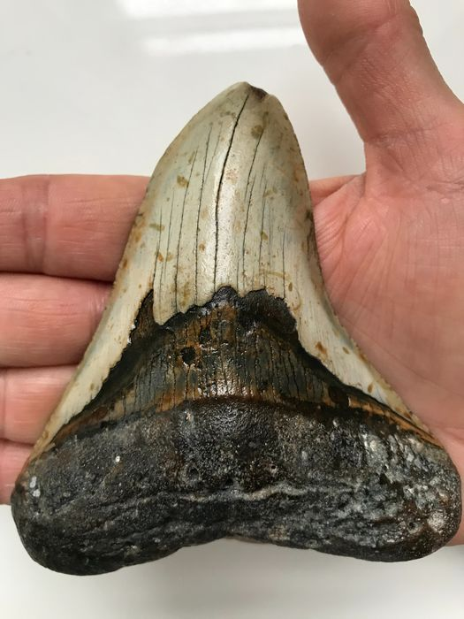 Megalodon Shark - Tooth 11,4 cm (4.49 inch) - Carcharocles megalodon
