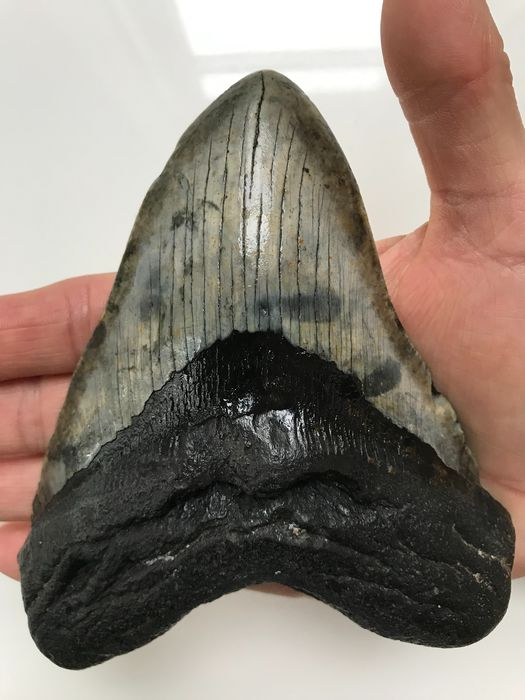 Very large Megalodon Shark - Tooth 14,0 cm (5.51 inch) - Carcharocles megalodon