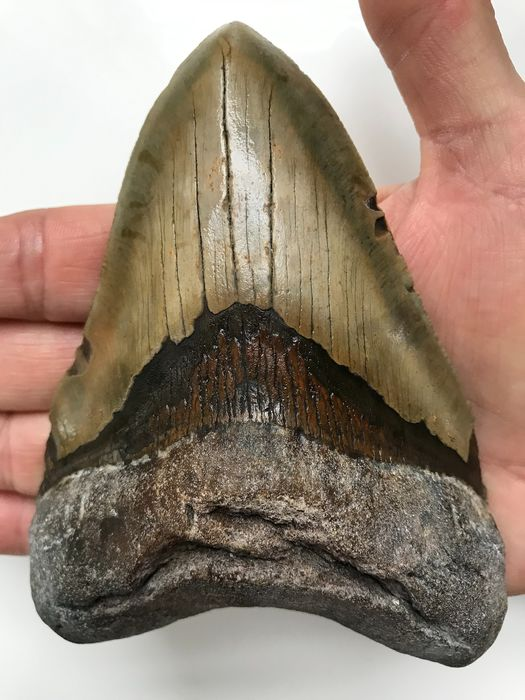 Large Megalodon Shark - Tooth 13,1 cm (5.16 inch) - Carcharocles megalodon