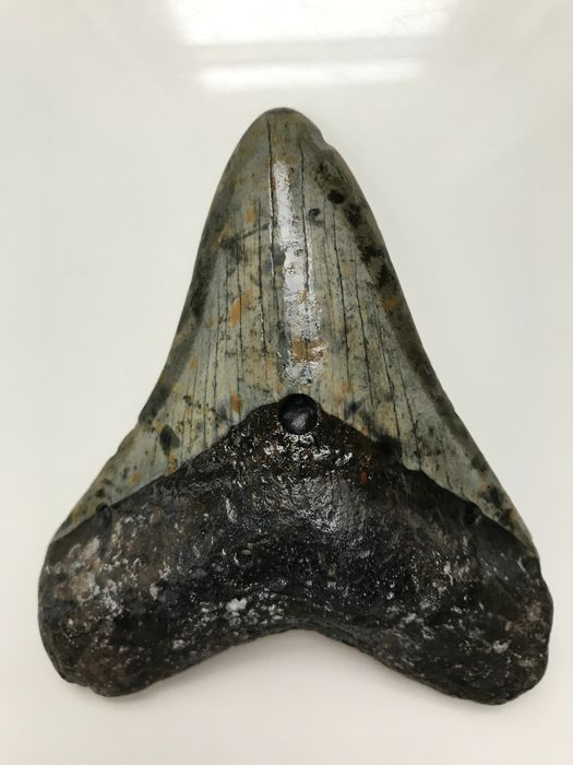 Megalodon Shark - Tooth 11,0 cm (4.33 inch) - Carcharocles megalodon