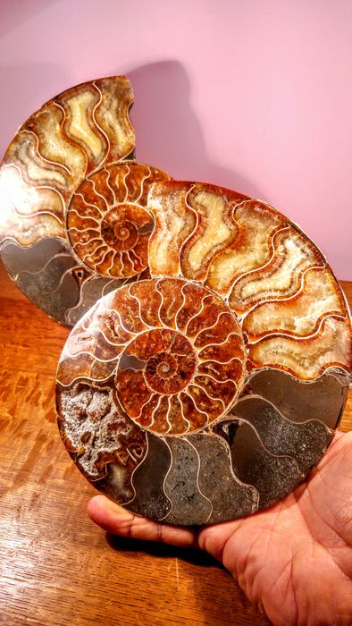 Massive Ammonite halves - finely polished, Amber- multi-coloured on stands - Cleoniceras sp. (2) - 21×4×21 cm