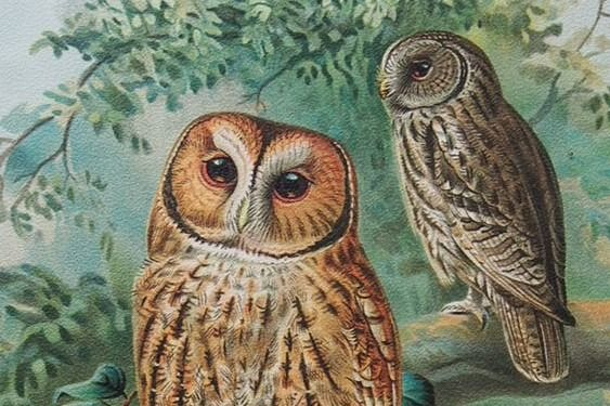 Jan Gerrard Keulemans - 15 large lithograph prints: Owls, Falcons - 1904