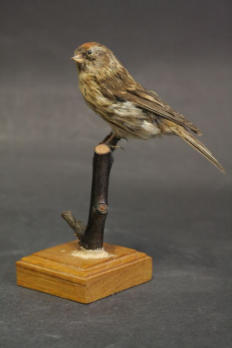 Redpoll - adult male - vintage mount - Acanthis flammea - 15×9×11 cm