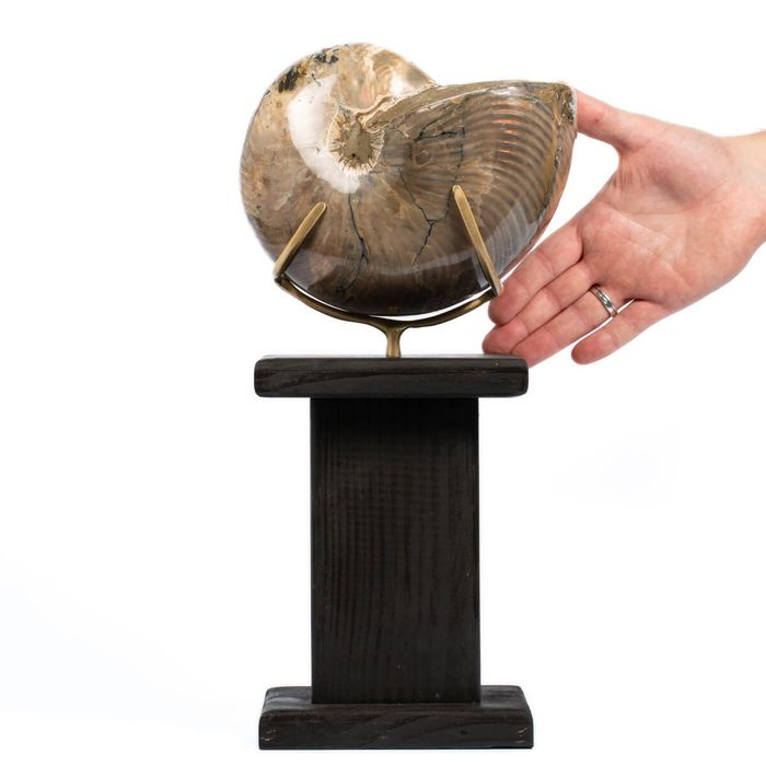 Fossil Nautilus with red opalescence - 390×150×150 mm