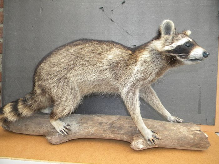 North American Raccoon - standing mount - Procyon lotor - 30×24×68 cm - Procyon lotor