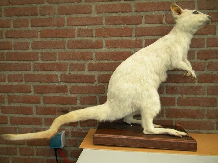Red-necked Wallaby - near-albinistic - standing mount - Macropus rufogriseus - 66×40×100 cm