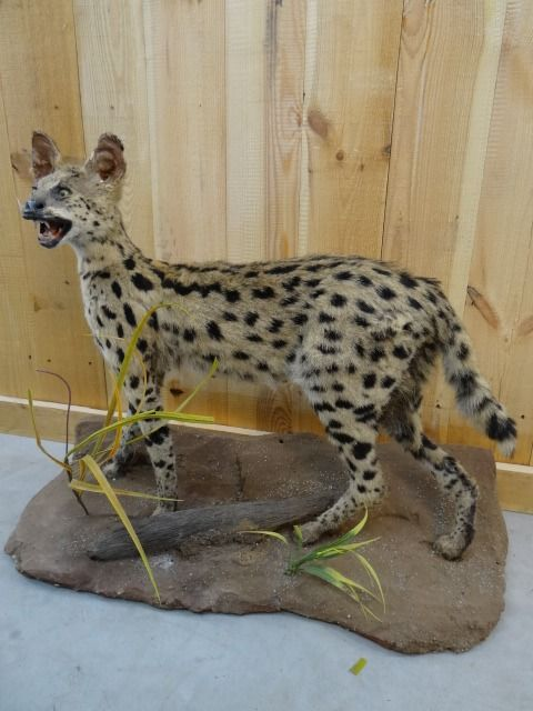Serval - standing mount - - Leptailurus serval - 85×35×58 cm