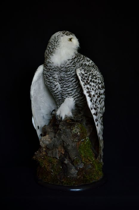 Snowy Owl, adult female - mounted with lowered wings - - - Bubo scandiacus (with full Article 10, Commercial Use) - 67×38×37 cm - ESMA00152/20C