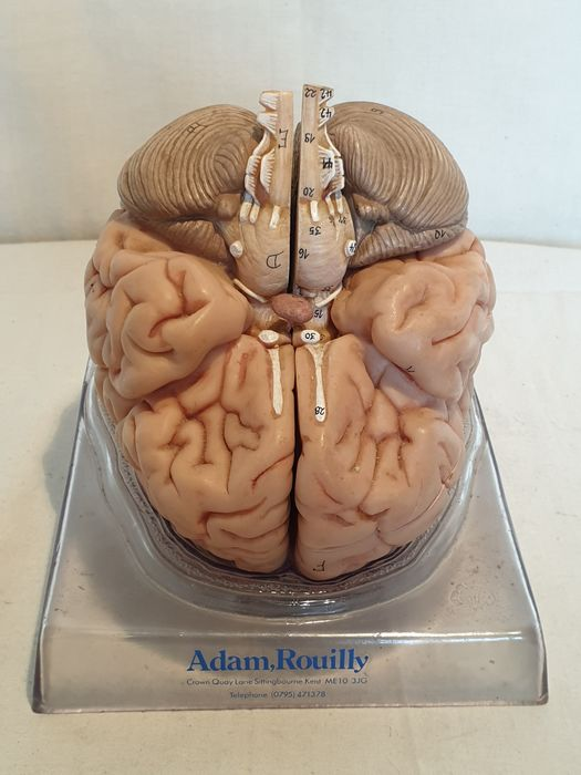 Brain anatomical model, Adam Rouilly - Plastic, polyresin (?)