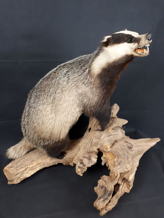 Finest quality Common Badger - on large trunk section - Meles meles - 78×50×87 cm