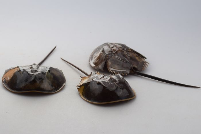Set of Horseshoe Crabs - Limulidae sp. - 3×13×25 cm