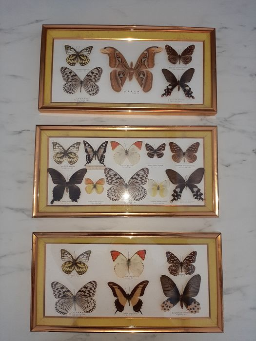 Mixed Asian Butterflies, with Atlas Moth - labeled - in glazed frames - - various non-CITES species including Attacus atlas - 24×2.7×47.7 cm - 3