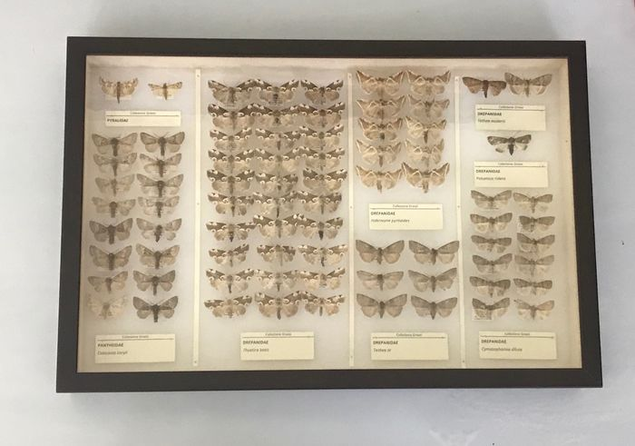 ITALIAN COLLECTION OF MOTHS- Scientifically Important with open wings and data labels - Lepidoptera Drepanidae, Pantheidae, Pyralidae - 6×39×26 cm