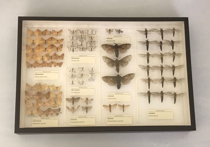 ITALIAN COLLECTION OF MOTHS- Scientifically Important with open wings and data labels - some copulatory organs prepared in euparal or in tubes - Lepidoptera Drepanidae & Cossidae - 6×39×26 cm
