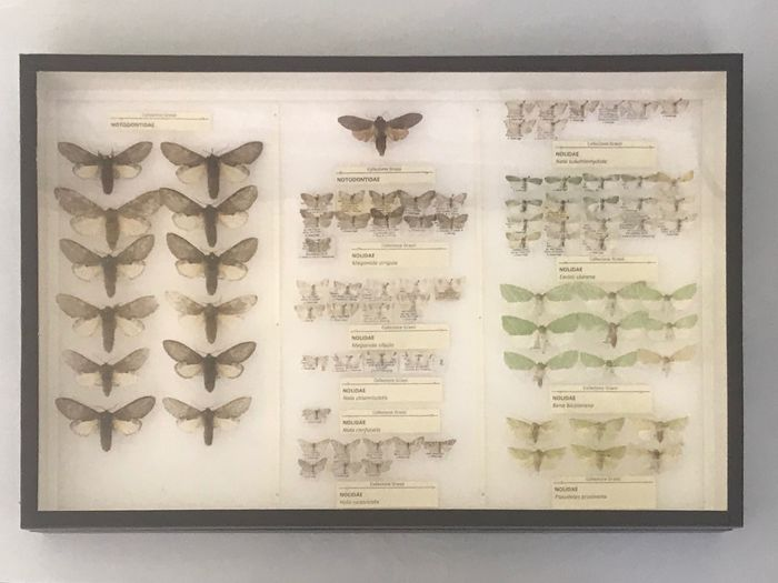 ITALIAN COLLECTION OF MOTHS- Scientifically Important with open wings and data labels - Lepidoptera NOLIDAE - 6×39×26 cm