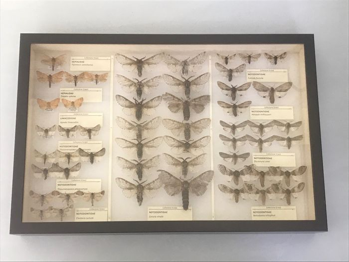 ITALIAN COLLECTION OF MOTHS- Scientifically Important with open wings and data labels - Lepidoptera HEPIALIDAE and NOTODONTIDAE - 6×39×26 cm
