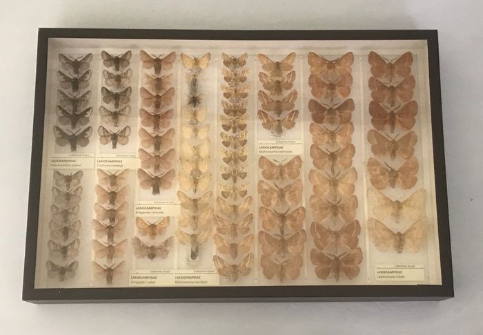 ITALIAN COLLECTION OF MOTHS - High quality museum preparations with spread wings and scientific tags - LEPIDOPTERA LASIOCAMPIDAE 1 - 6×26×39 cm