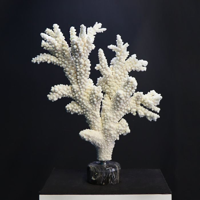 White Coral on a marble base - Acropora Florida - 520×440×110 mm