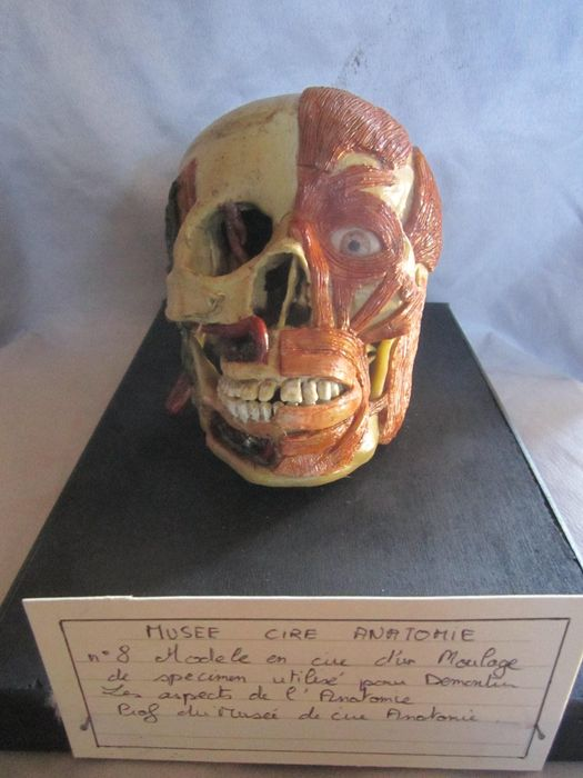 Reproduction Antique Anatomical Study Skull - life-sized - - - 13×15×25 cm