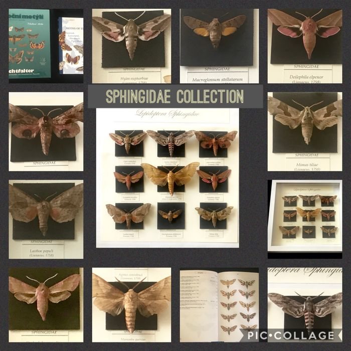 Extensive Hawkmoth Collection with data and reference texts - framed - Sphingidae sp. - 3×30×30 cm