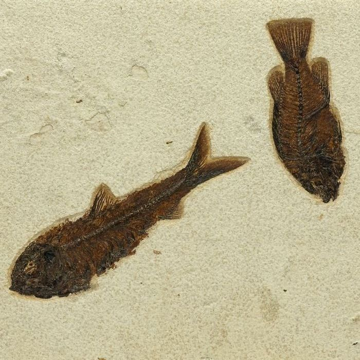 Wyoming Fossil Fishes - Priscacara Liops - 30×25×2 cm