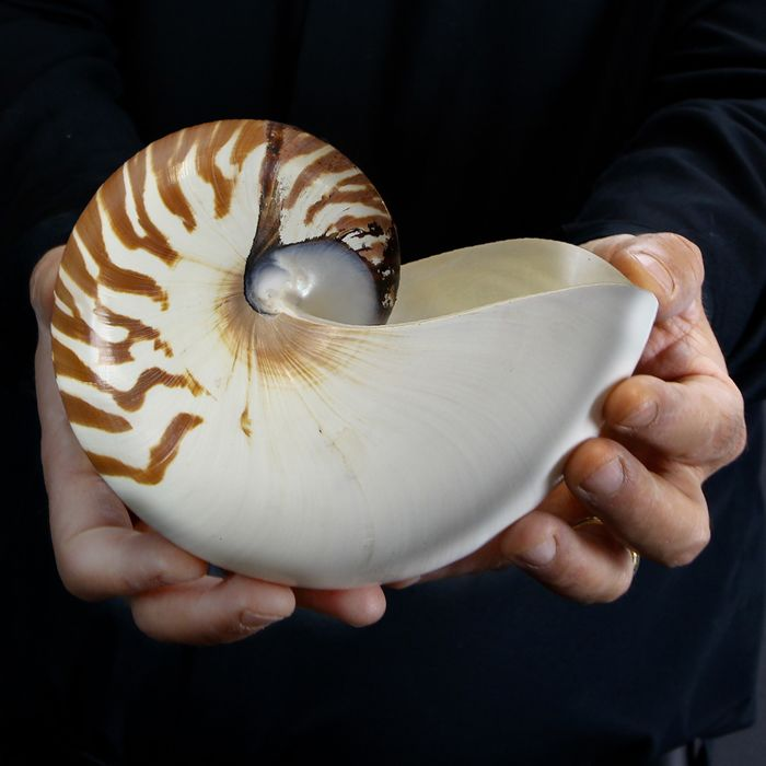 Large Chambered Nautilus - Nautilus pompilius - 200×160×80 mm