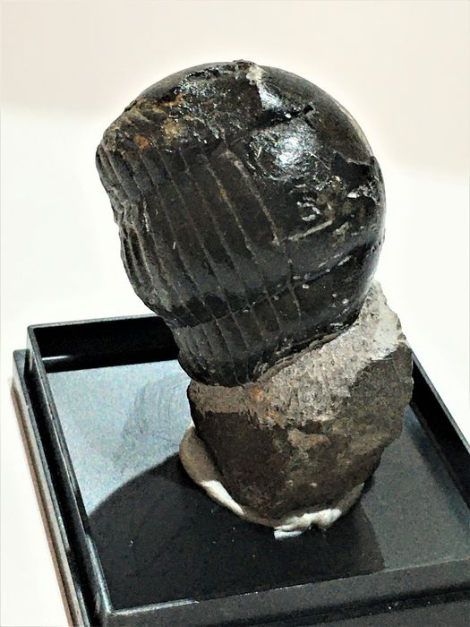 Trilobite - On matrix - Illaenus sp. - 45×30×25 mm