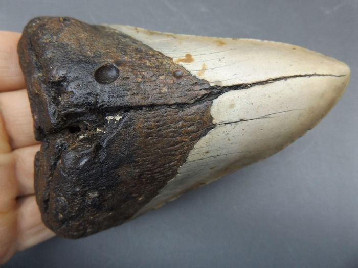 Megalodon Shark - Tooth - 116×80×30 mm