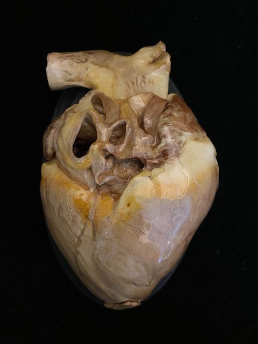 Plastinated Pig's Heart on wall-shield - Suidae sp. - 6×8×13 cm