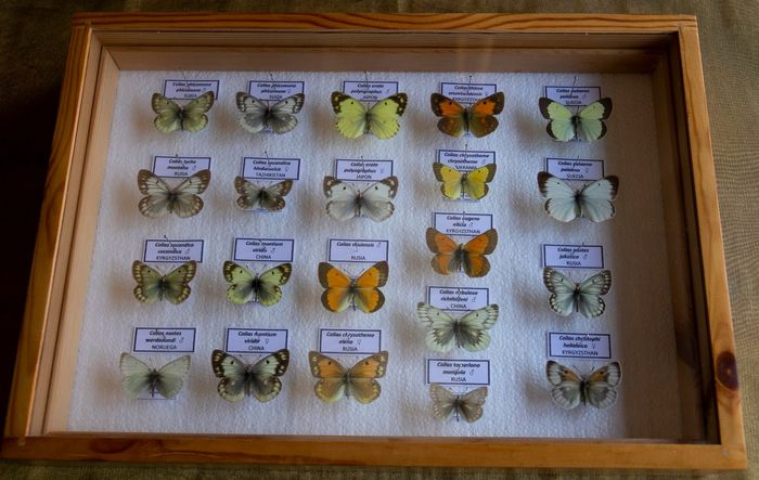 Clouded Yellows, aka Sulfurs - assorted, labeled, in glazed display case - Colias sp. - 5.5×27×39 cm