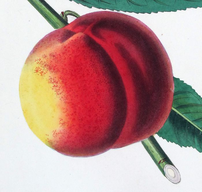 Augusta Hanna Innes Withers (1792-1877) - set -3- Original Engraving with Antique Hand Colouring Peach, Strawberry, etc-a78