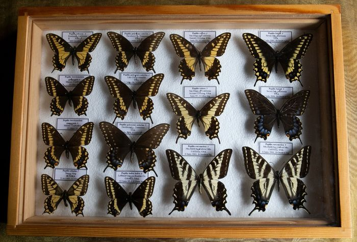 Mixed North American Papilios - labeled - in glazed display case - Papilionidae sp. - 5.5×27×39 cm