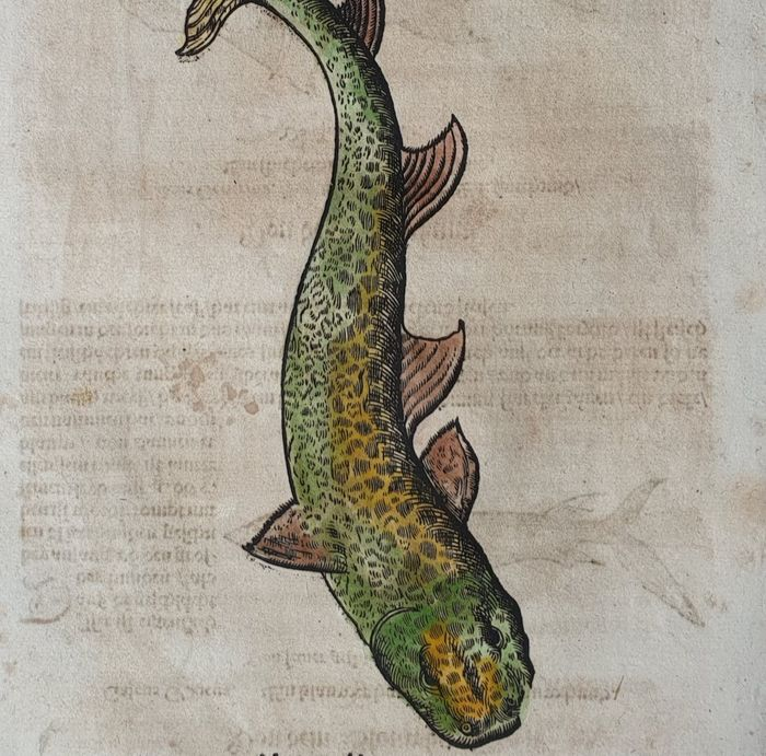 Conrad Gesner(1516 – 1565) - Ichthyology - Fish from the Fish Book - hand-coloured
